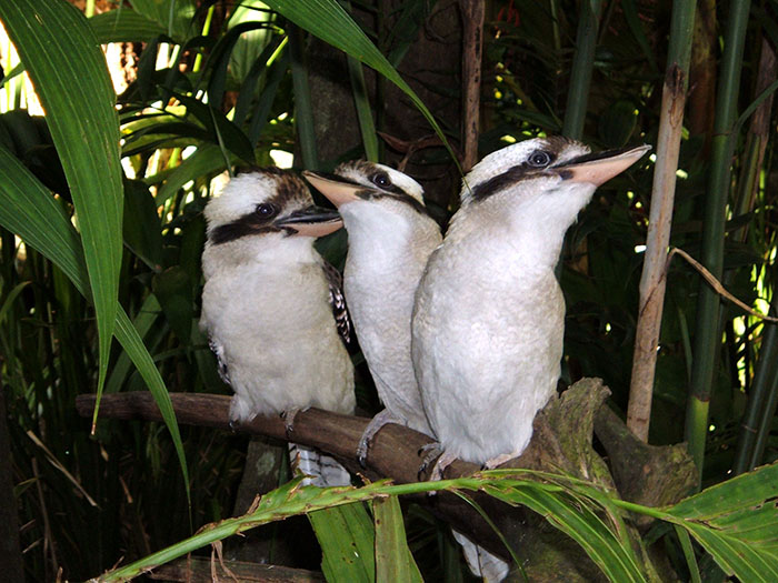 kookaburras in bush